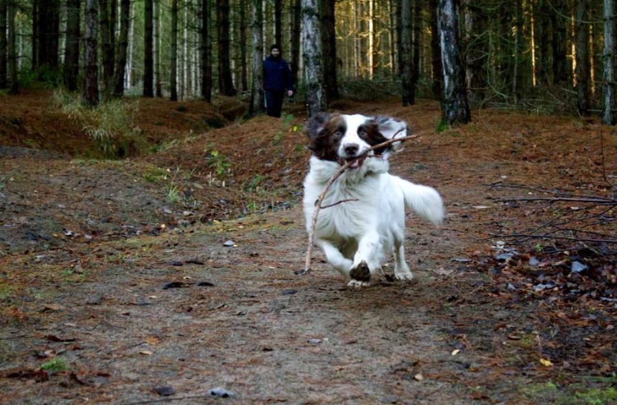 Wild dog with stick