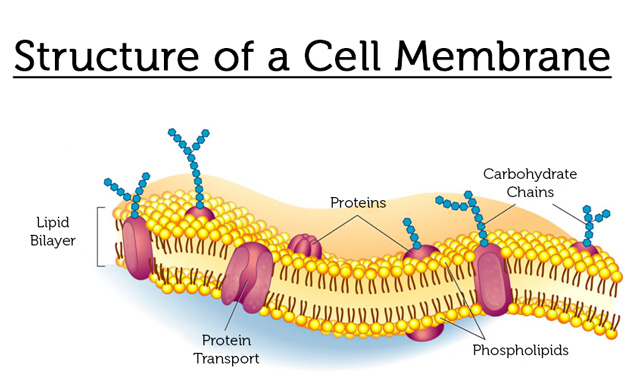 phospholipid_cell_membrane