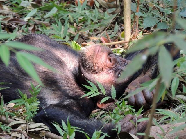chimpanzee-718273_960_720